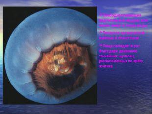 Свободноплавающие медлительные медузы всю жизнь живут в толще воды. Питаются