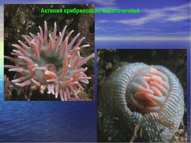 Актиния крибринопсис белоточечный