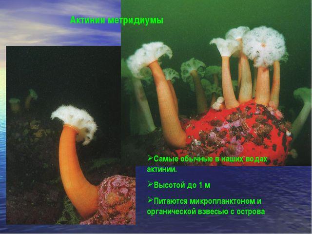 Самые обычные в наших водах актинии. Высотой до 1 м Питаются микропланктоном...