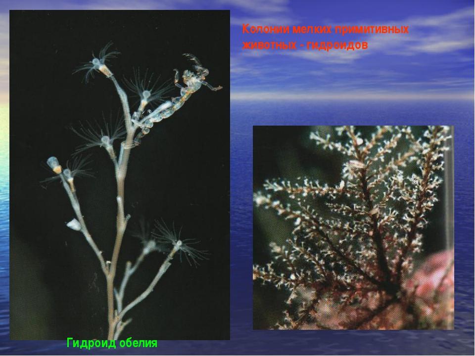 Гидроид обелия Колонии мелких примитивных животных - гидроидов