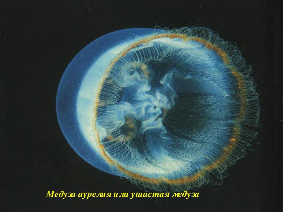 Медуза аурелия или ушастая медуза