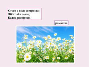 Стоят в поле сестрички: Жёлтый глазок, Белые реснички. ромашка