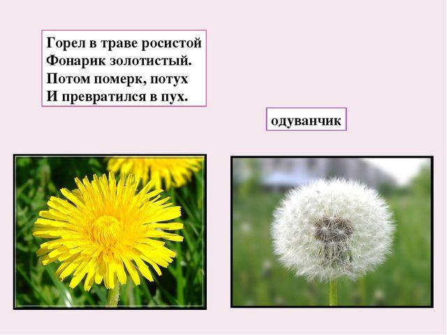 Горел в траве росистой Фонарик золотистый. Потом померк, потух И превратился...