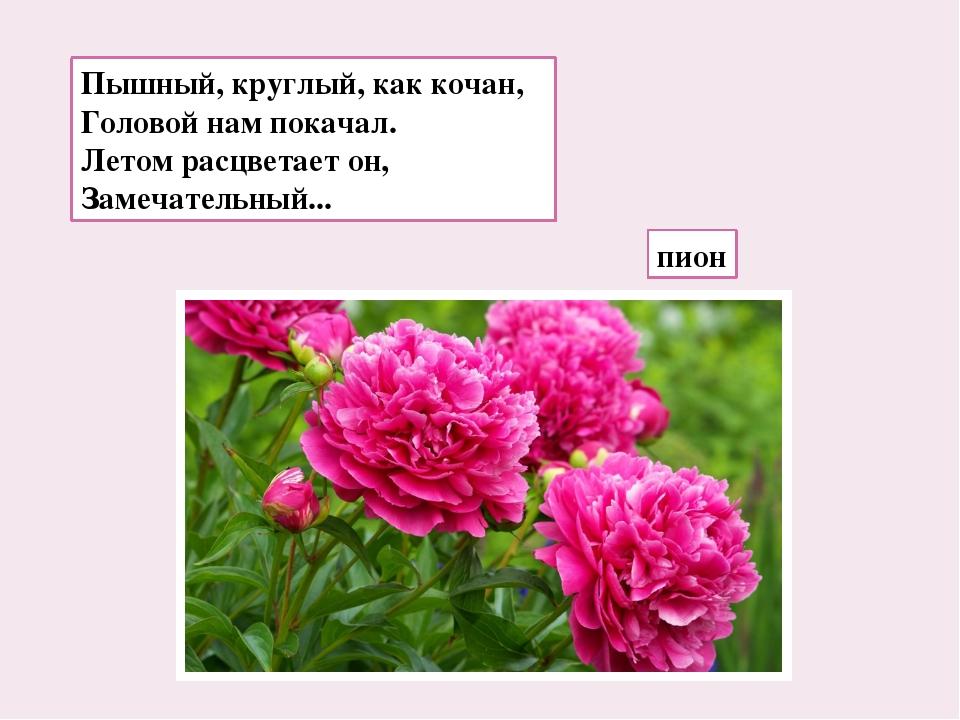 Пышный, круглый, как кочан, Головой нам покачал. Летом расцветает он, Замечат...