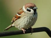 http://www.exploringthepotteries.org.uk/Nof_website1/species/birds/birdsT-W/birdsT-W_images/tsparrow01ah.jpg