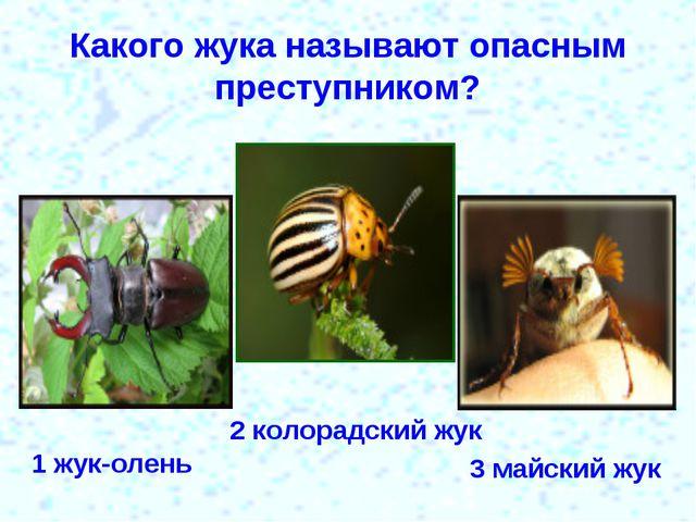 Какого жука называют опасным преступником? 1 жук-олень 2 колорадский жук 3 ма...