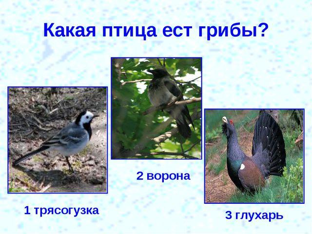 Какая птица ест грибы? 1 трясогузка 2 ворона 3 глухарь