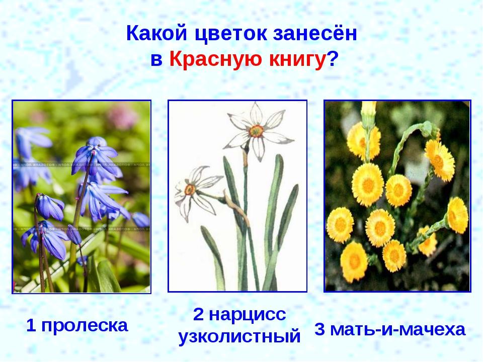 Какой цветок занесён в Красную книгу? 1 пролеска 2 нарцисс узколистный 3 мать...