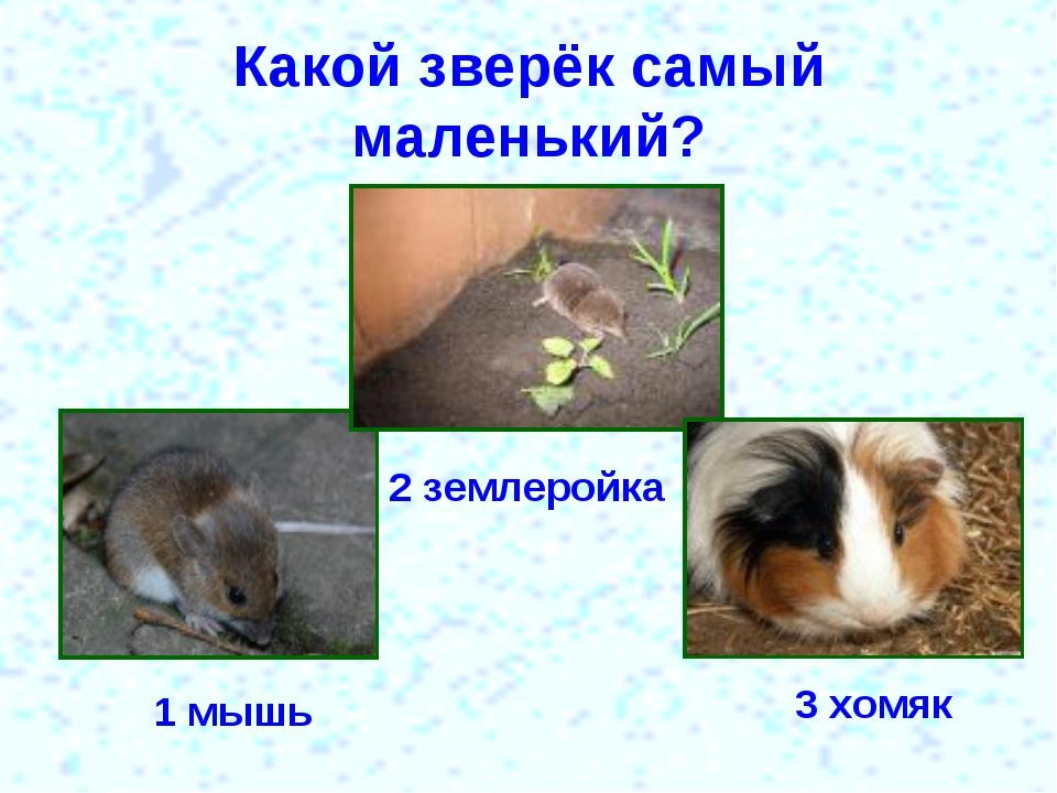Какой зверёк самый маленький? 1 мышь 2 землеройка 3 хомяк