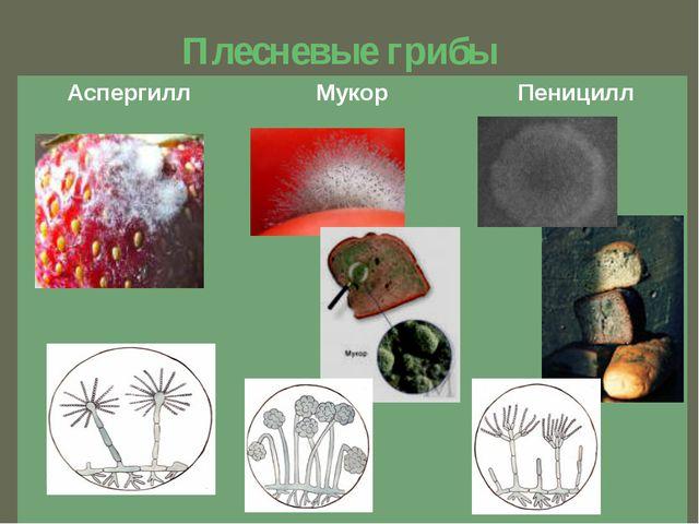 Плесневые грибы Аспергилл Мукор Пеницилл