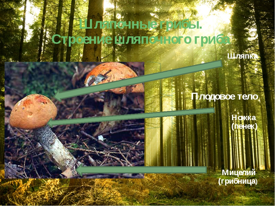 Шляпочные грибы. Строение шляпочного гриба Шляпка Плодовое тело Ножка (пенек)...