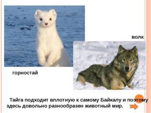 Тайга подходит вплотную к самому Байкалу и поэтому здесь довольно разнообраз