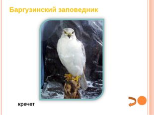 Баргузинский заповедник кречет