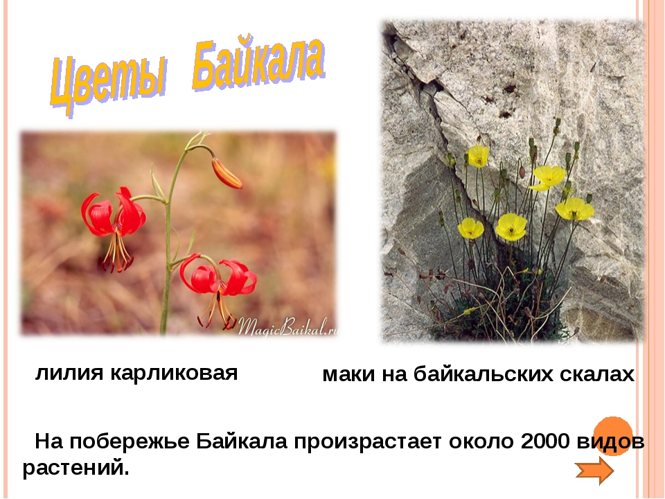 На побережье Байкала произрастает около 2000 видов растений. лилия карликова...
