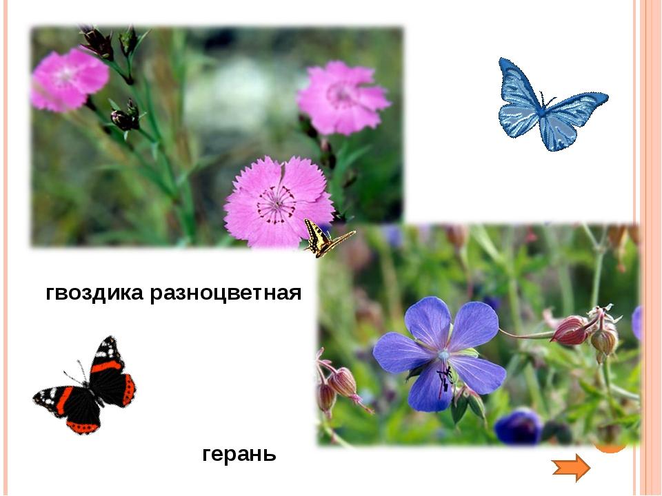 гвоздика разноцветная герань