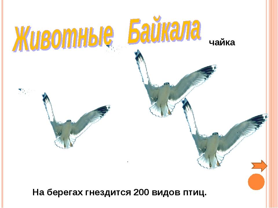 На берегах гнездится 200 видов птиц. чайка