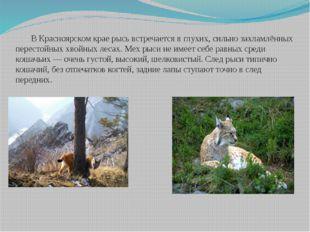 В Красноярском крае рысь встречается в глухих, сильно захламлённых перестойн
