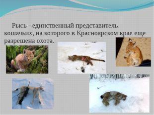 Рысь - единственный представитель кошачьих, на которого в Красноярском крае