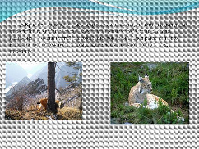 В Красноярском крае рысь встречается в глухих, сильно захламлённых перестойн...