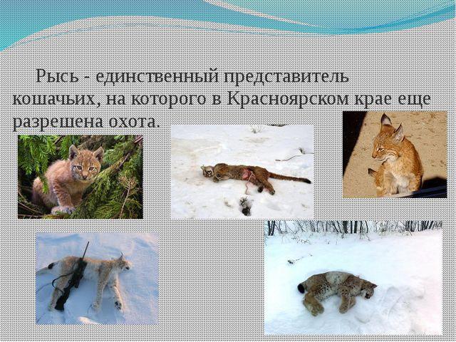Рысь - единственный представитель кошачьих, на которого в Красноярском крае...
