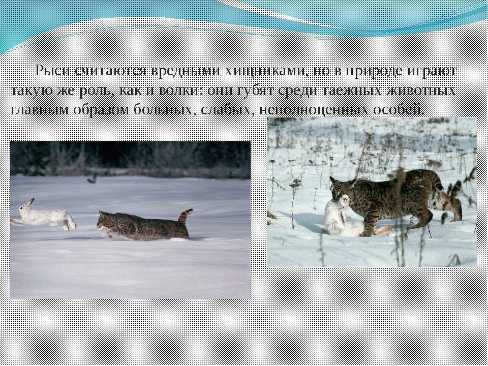 Рыси считаются вредными хищниками, но в природе играют такую же роль, как и...