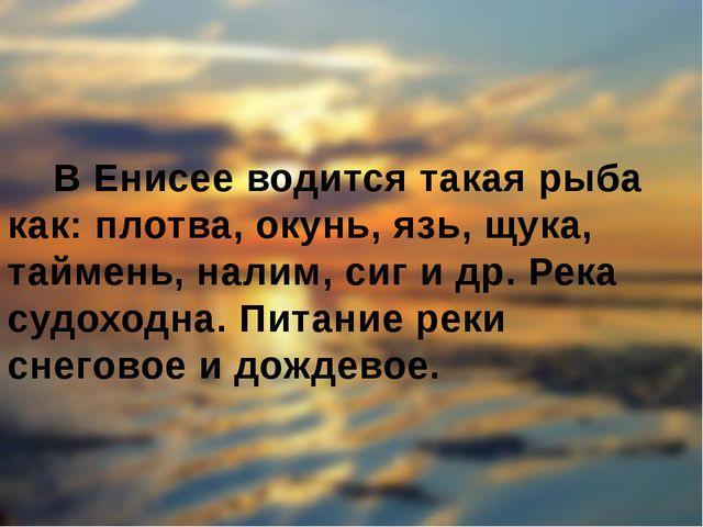 В Енисее водится такая рыба как: плотва, окунь, язь, щука, таймень, налим, с...