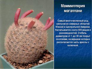 Маммиллярия магаллани Самый многочисленный род кактусов из северных областей