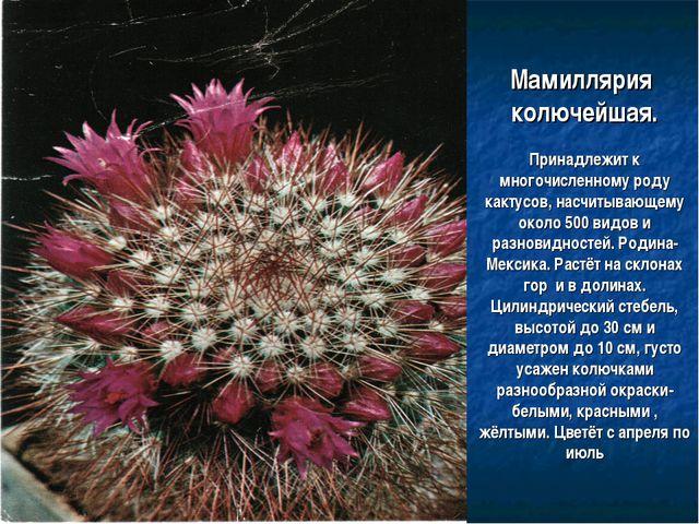 Мамиллярия колючейшая. Принадлежит к многочисленному роду кактусов, насчитыва...