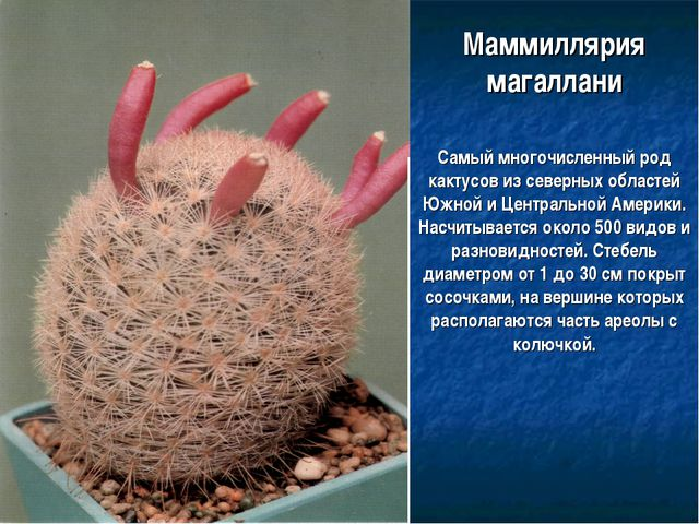Маммиллярия магаллани Самый многочисленный род кактусов из северных областей...