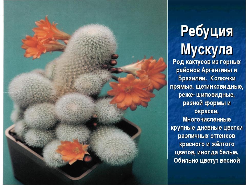 Ребуция Мускула Род кактусов из горных районов Аргентины и Бразилии. Колючки...