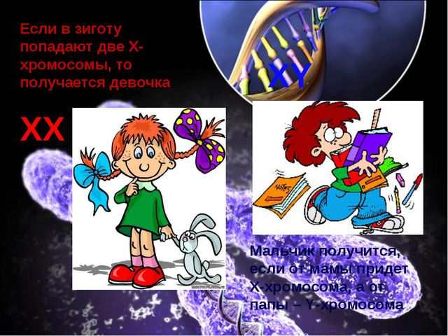 Если в зиготу попадают две X-хромосомы, то получается девочка Мальчик получит...