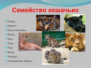 Семейство кошачьих Гепард Каракал Кошка Темминка Манул Рысь Пума Тигр Ягуар Л