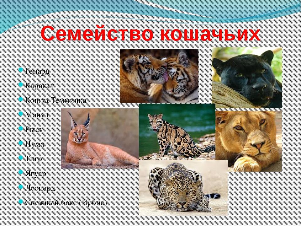 Семейство кошачьих Гепард Каракал Кошка Темминка Манул Рысь Пума Тигр Ягуар Л...