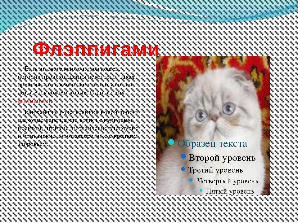 Флэппигами Есть на свете много пород кошек, история происхождения некоторых...
