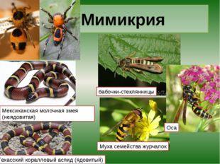 Мимикрия бабочки-стеклянницы Муха семейства журчалок Оса Мексиканская молочна