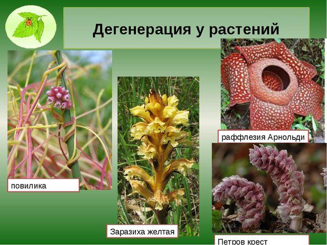 Дегенерация у растений повилика раффлезия Арнольди Заразиха желтая Петров крест
