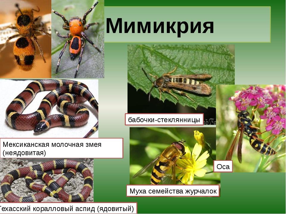 Мимикрия бабочки-стеклянницы Муха семейства журчалок Оса Мексиканская молочна...