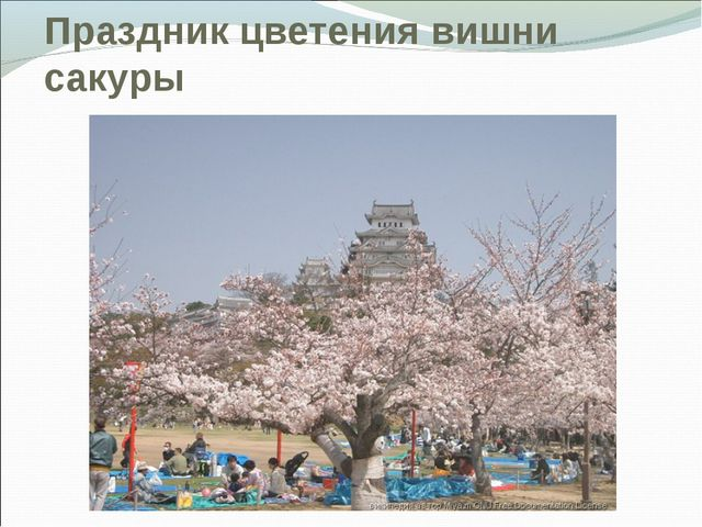 Праздник цветения вишни сакуры