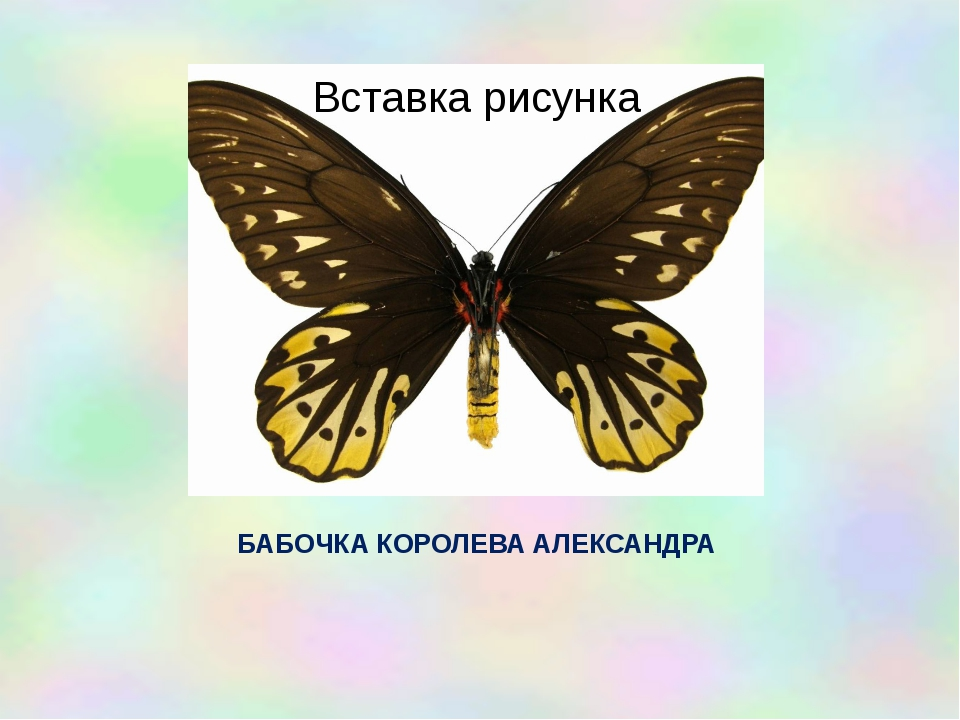 БАБОЧКА КОРОЛЕВА АЛЕКСАНДРА
