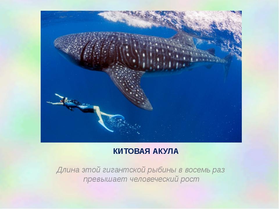 КИТОВАЯ АКУЛА Длина этой гигантской рыбины в восемь раз превышает человеческ...