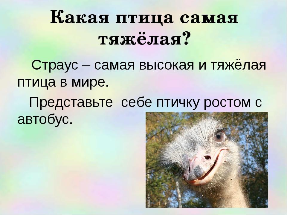 Страус – самая высокая и тяжёлая птица в мире. Представьте себе птичку росто...