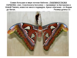 Самая большая в мире ночная бабочка - ПАВЛИНОГЛАЗКА ГЕРКУЛЕС (лат. Coscinoce