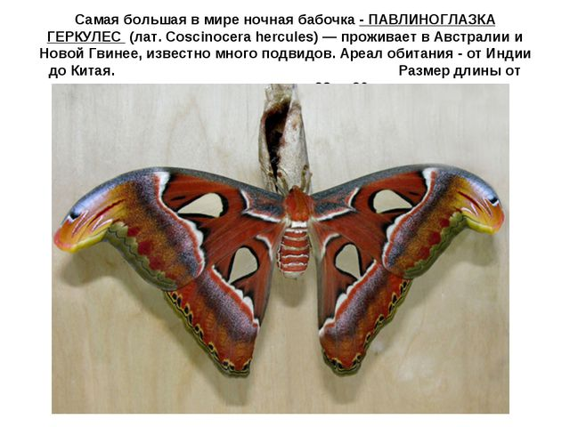 Самая большая в мире ночная бабочка - ПАВЛИНОГЛАЗКА ГЕРКУЛЕС (лат. Coscinoce...