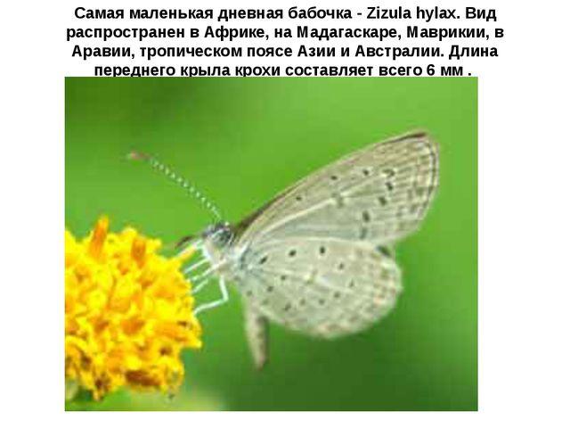 Самая маленькая дневная бабочка - Zizula hylax. Вид распространен в Африке, н...