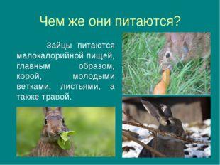 Чем же они питаются? Зайцы питаются малокалорийной пищей, главным образом, ко