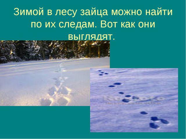 Зимой в лесу зайца можно найти по их следам. Вот как они выглядят.