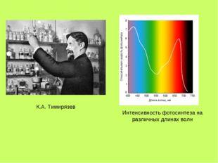 Интенсивность фотосинтеза на различных длинах волн К.А. Тимирязев