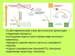 На фотофизическом этапе фотосинтеза происходят следующие процессы: поглощение