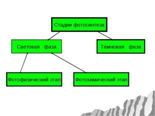 Световая фаза Стадии фотосинтеза Темновая фаза Фотофизический этап Фотохимиче