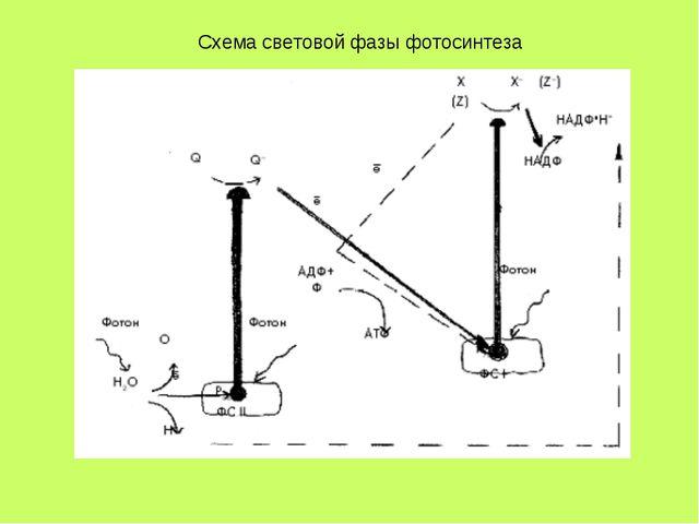 Схема световой фазы фотосинтеза